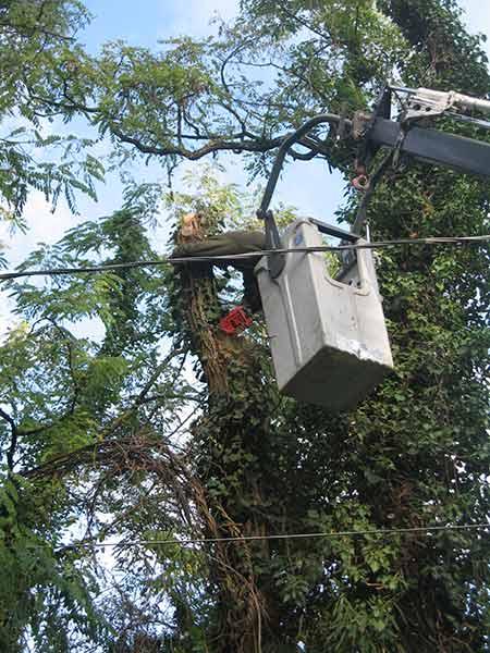potatore-di-alberi-pericolosi-in-citta-parma