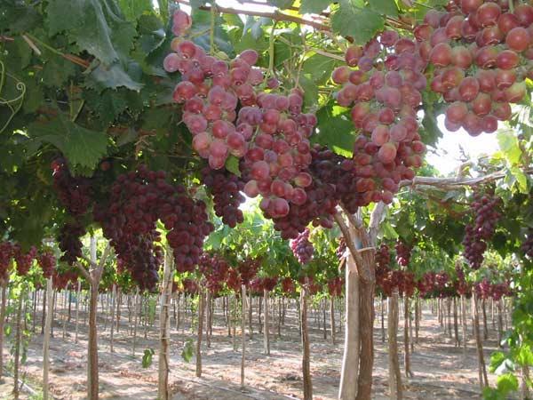 Montaggio-irrigazione-pomodori-quattro-castella